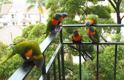 Lorikeets on balcony