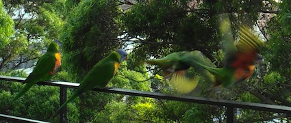 Rainbow lorikeets take flight